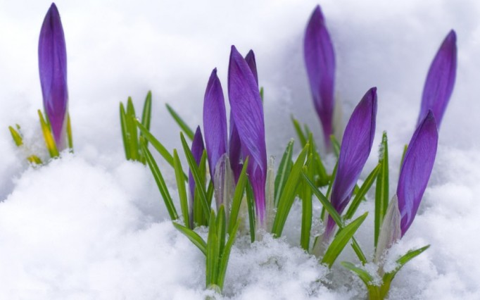 crocus-flower-buds-spring-flowers-wallpaper-crocus-1920x1200-862x539